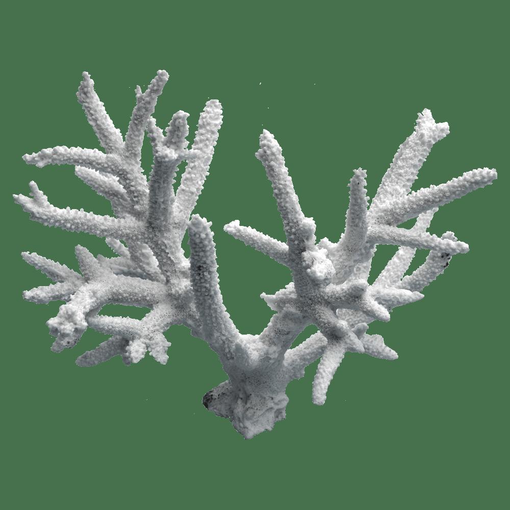 白珊瑚 D 白